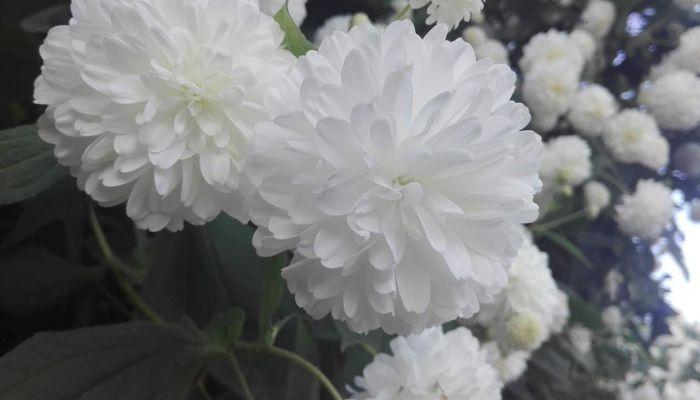 Hoa cúc dại Thái Lan