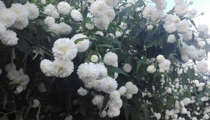 Địa điểm chiêm ngưỡng hoa cúc dại Thái Lan