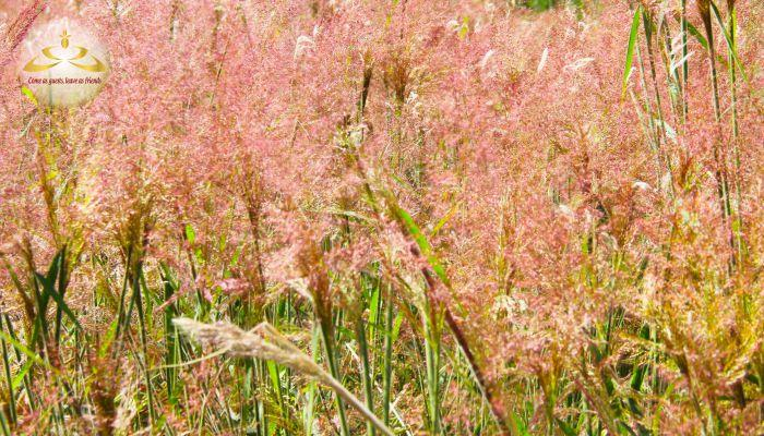cỏ đuôi chồn Đà Lạt