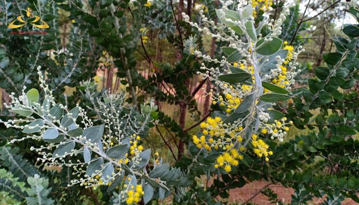 Đà Lạt đẹp nhất mùa hoa mimosa