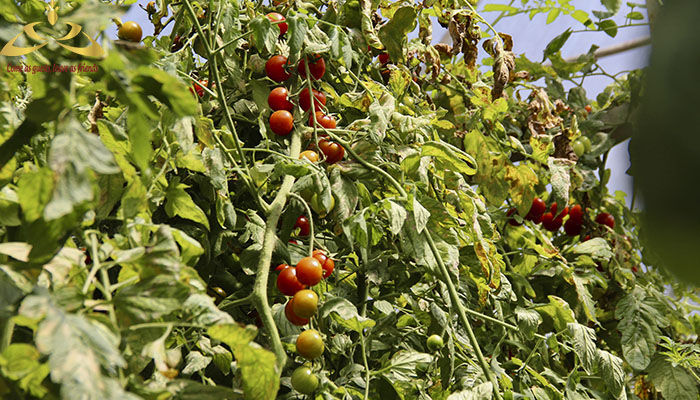 Không chỉ có vườn bí ngô không lồ mà còn rất nhiều loại rau quả độc đáo
