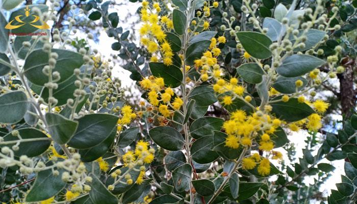 Nguồn gốc của hoa mimosa