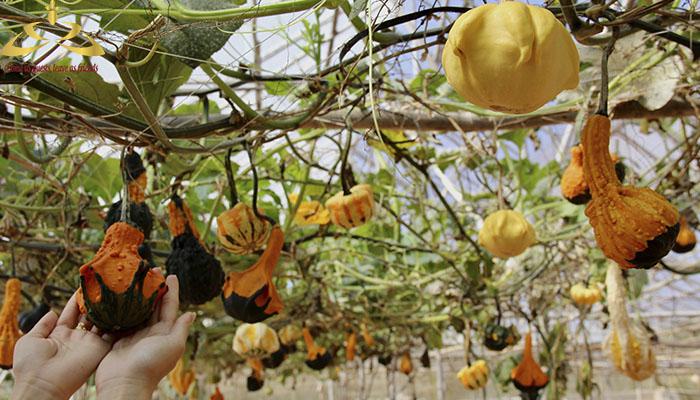 Vườn bí ngô trái nhỏ Đà Lạt