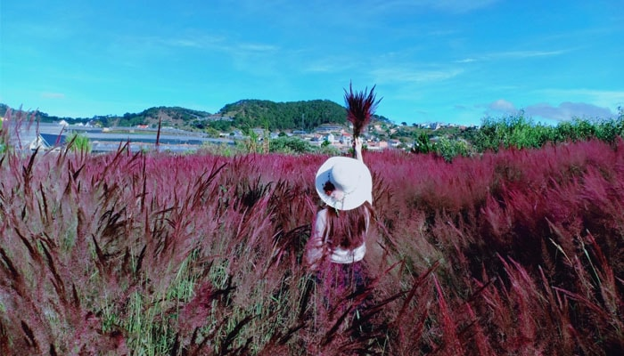 Đồi cỏ hồng đuôi chồn