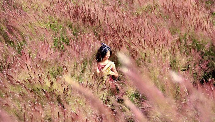 Đồi cỏ hồng đuôi chồn ở đường 723