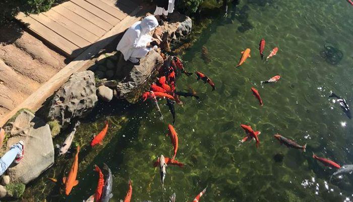 Khu vực nuôi cá Koi