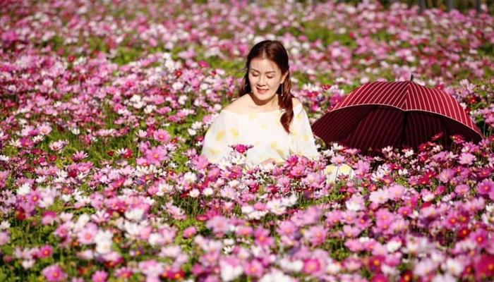 Hoa sao nháy Đà Lạt