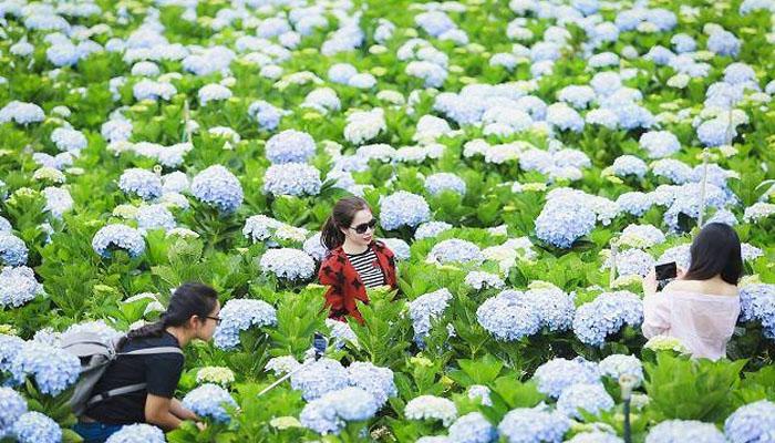 Vườn hoa cẩm tú cầu