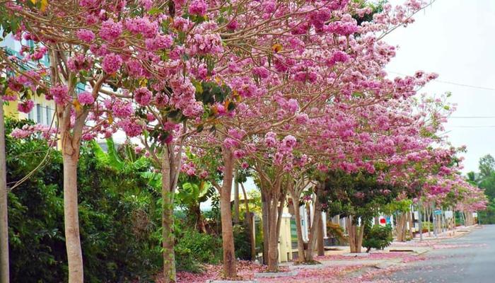 Hoa phấn hồng Bảo Lộc