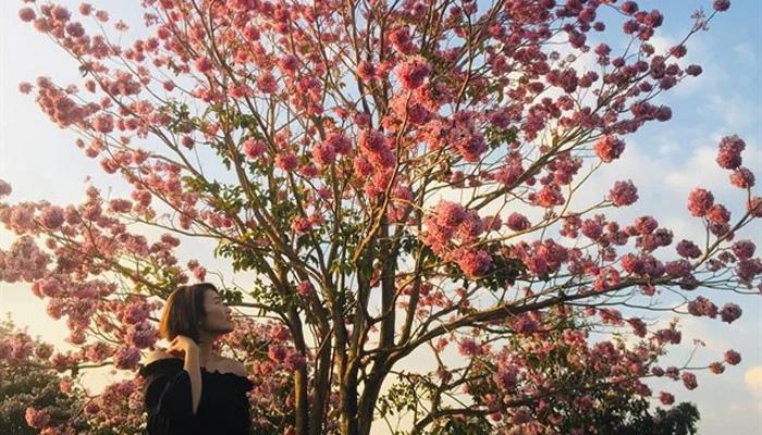 Giới thiệu hoa kèn hồng
