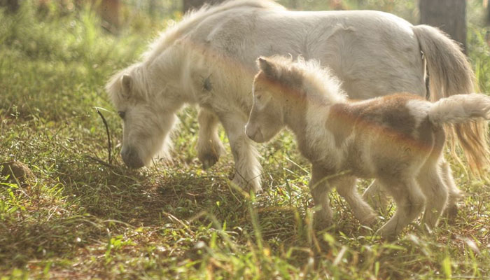 Ngựa lùn cùng mẹ đi dạo