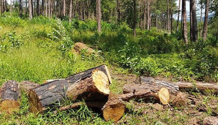 Lâm Đồng kiểm tra lập hồ sơ xử lý việc rừng thông bị tàn phá nghiêm trong