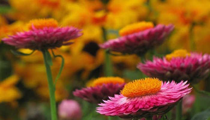 Du lịch Đà Lạt mùa thu – hoa bất tử đua nhau khoe sắc