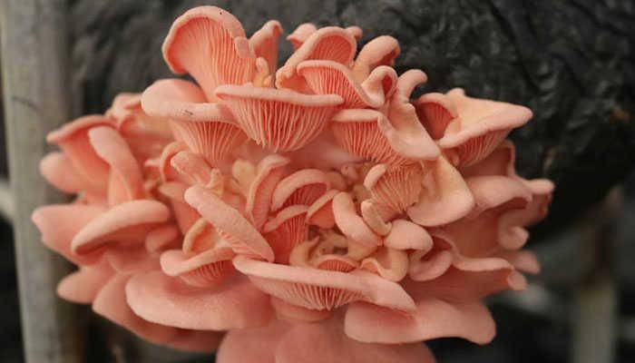 Nấm hồng ngọc