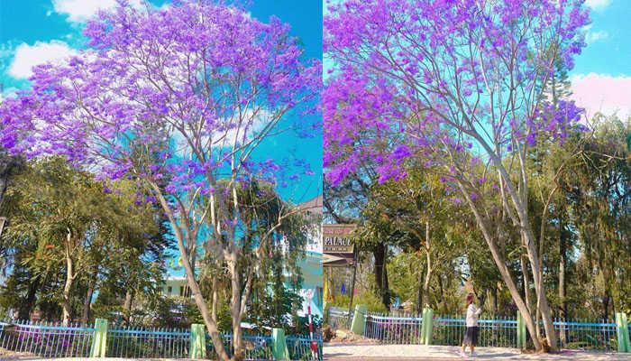 Du lịch tháng 3- mùa hoa phượng tím ( ảnh: internet )